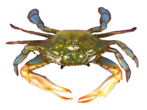 Blue Wall Crab  Nautical Seasons