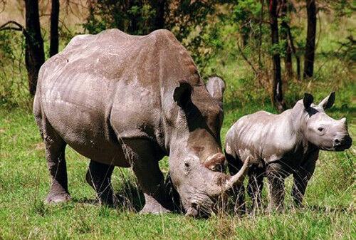 Family Rhinos