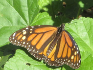 Dale & Debbie Part 5 - Monarch Butterflies
