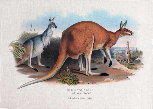 RED KANGAROO (Osphranter Rufus) full image illustrated by John Gould (1804-1881) printed on tea towel, Made in Australia.