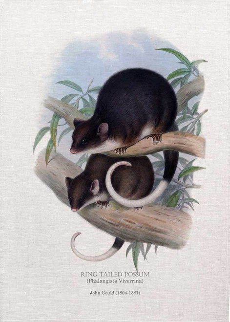 Ring Tailed Possum (Phalangista Viverrina) illustrated by John Gould (1804-1881) printed on tea towel, Made in Australia.