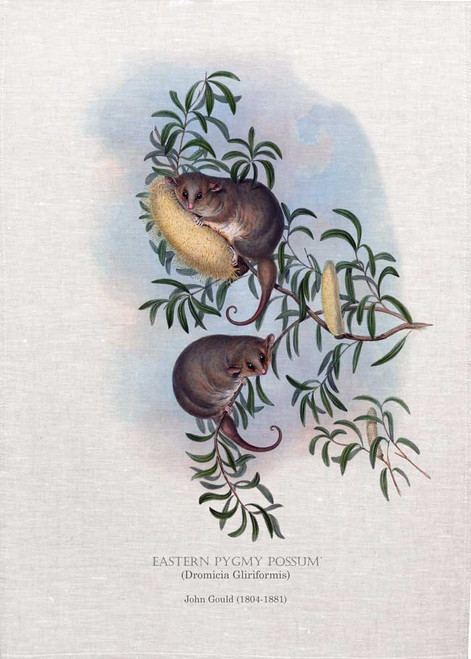 Theeastern pygmy possum(Cercartetus nanus) illustrated by John Gould (1804-1881) printed on tea towel, Made in Australia.