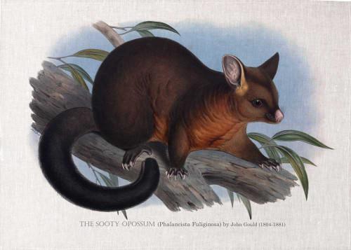 The Sooty Opossum (Phalancista Fuliginosa) illustrated by John Gould (1804-1881) printed on tea towel, Made in Australia.