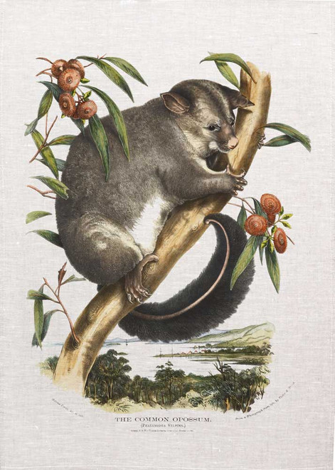 The common opossum illustration from 1869 printed on tea towel, Made in Australia.