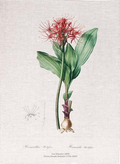 Pierre Joseph Redoute tea towel, Blood lily illustration, Made in Australia