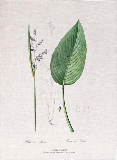 Pierre Joseph Redoute tea towel, Powdery alligator-flag illustration , Made in Australia
