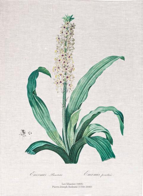 Pierre Joseph Redoute tea towel, Eucomis punctata illustration, Made in Australia