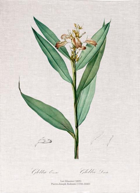 Pierre Joseph Redoute tea towel, Globba erecta illustration, Made in Australia