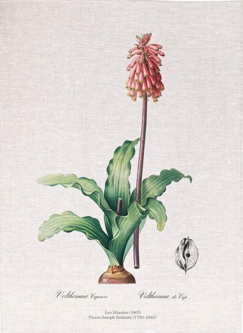 Pierre Joseph Redoute tea towel, Veltheimia capensis illustration, Made in Australia