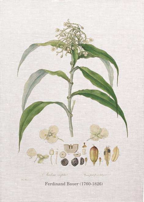 Ameilema Crispata vintage illustration by Ferdinand Bauer (1760-1826) on tea towel, Made in Australia