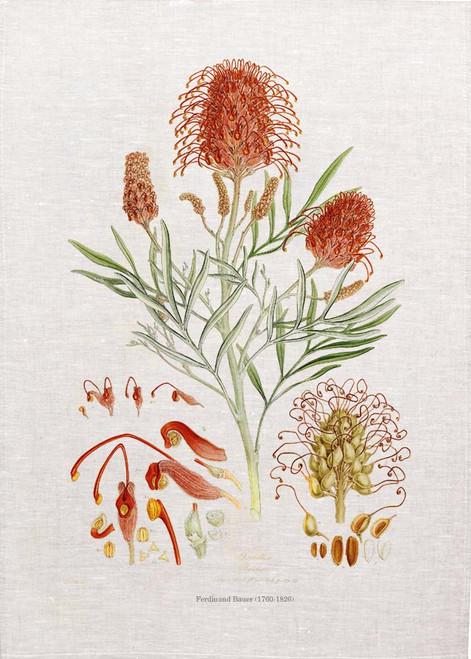 Grevillea Banksii vintage illustration by Ferdinand Bauer (1760-1826) on tea towel, Made in Australia