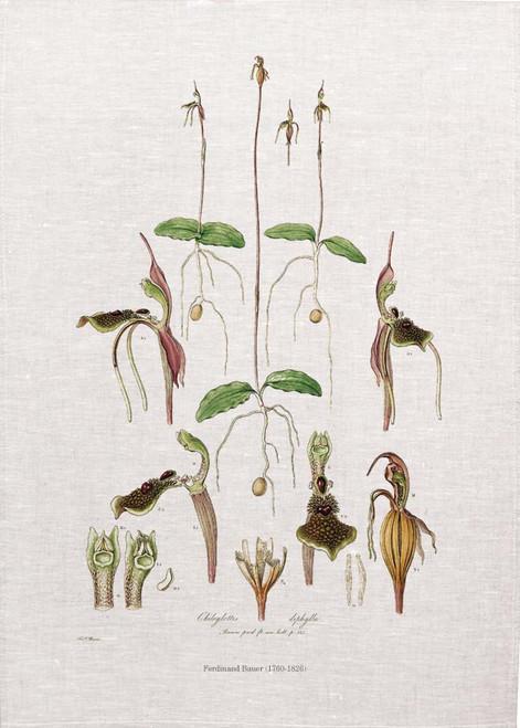 Chiloglottis diphylla vintage illustration by Ferdinand Bauer (1760-1826) on tea towel, Made in Australia