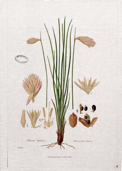 Johnsonia Lupulina vintage illustration by Ferdinand Bauer (1760-1826) on tea towel, Made in Australia