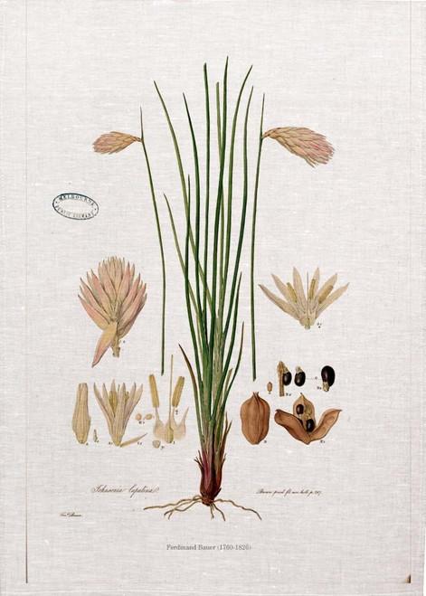 Doryanthes excelsa (detail) vintage illustration by Ferdinand Bauer (1760-1826) on tea towel, Made in Australia