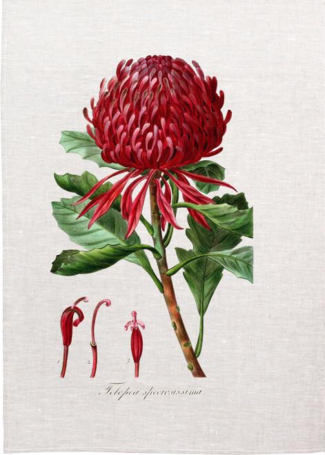Waratah, Telopea speciosissima vintage illustration on tea towel, made in Australia