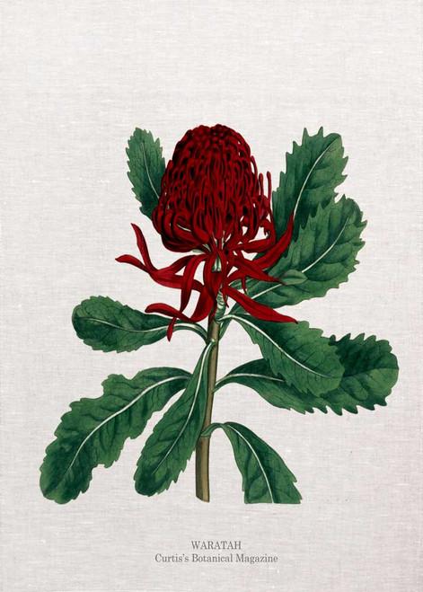 Waratah  illustration from Curtis' botanical magazine, printed on tea towel, made in Australia