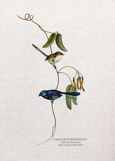 Thesplendid fairywren(Malurus splendens) by John Gould printed on tea towel Made in Australia