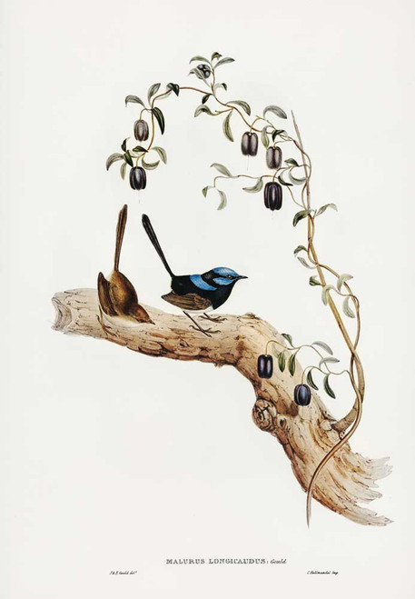 Long-tailed wren (MALURUS LONGICAUDUS)  by John Gould printed on tea towel Made in Australia