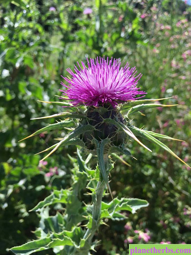 Herb of the Month - Milk Thistle