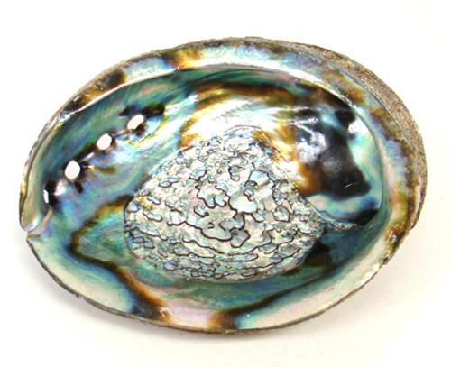 """Abalone Shell 5-6""""L"""