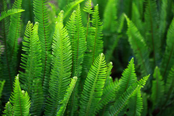 Ferns Category
