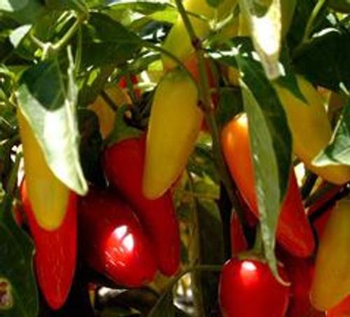 Numex Pinata Chilli Seeds x 10