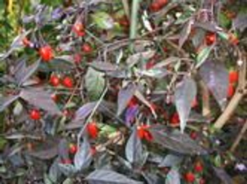 Orozco Chilli Seeds x 10