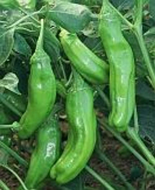 Golden Greek Pepperoncini Chilli Seeds x 10