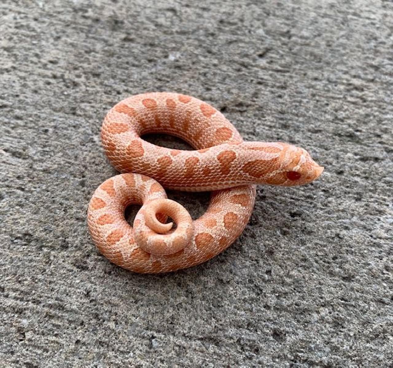 Albino Anaconda Western Hognose Snake For Sale Snakes At Sunset