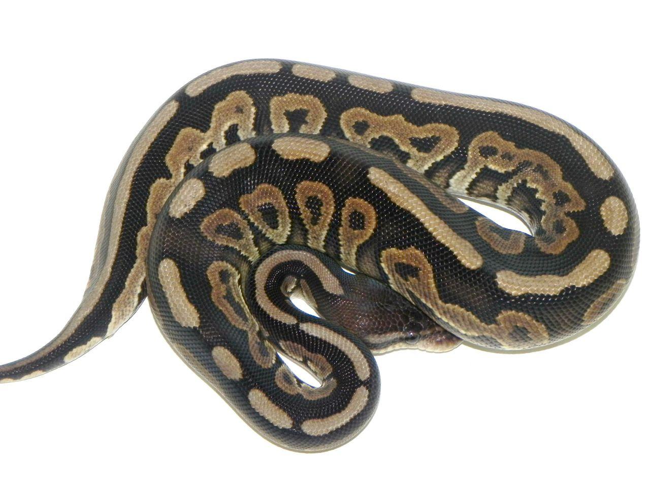 Cinnamon Ball Pythons For Sale Snakes At Sunset