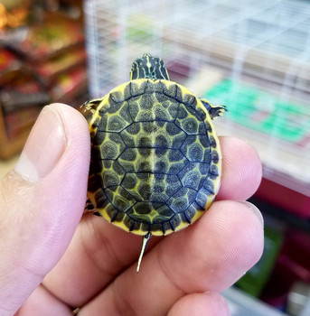 Florida Chicken Turtles for sale