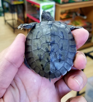 Painted River Terrapin for sale
