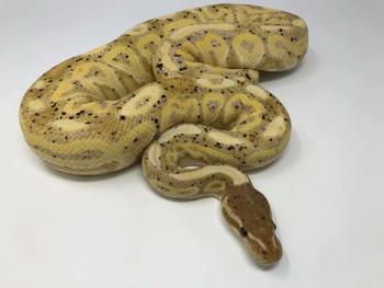 Coral Glow Ball Pythons aka Banana Ball Pythons