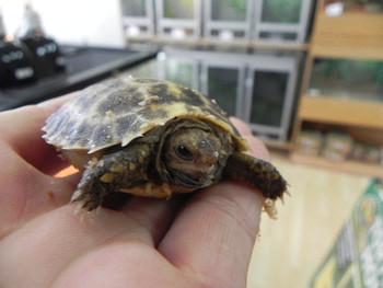 Forstens Tortoise for sale