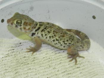 Frog Eye Gecko For Sale