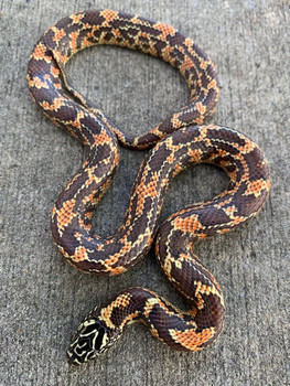 Florida King Snake for sale