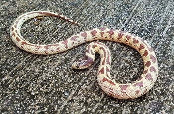 Hypo California King Snake for sale