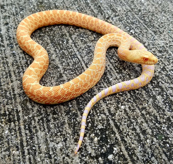 Albino Bull Snake for sale
