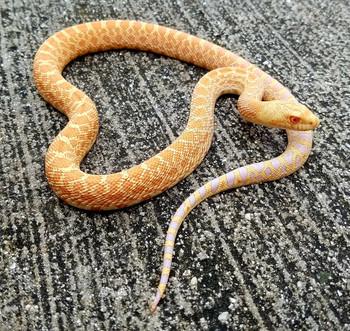 Albino Bull Snake for sale
