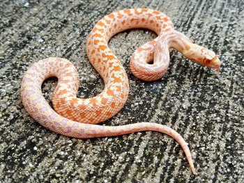 Albino Gopher Snake for sale