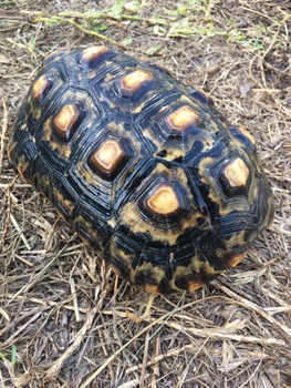Marbled Cherry Head Tortoise