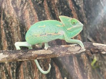 Veiled Chameleons for sale (Chameleo calypratus) -JUVENILE