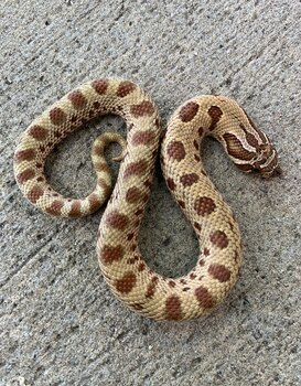 Anaconda Phase Western Hognose Snakes (Heterodon nasicus)