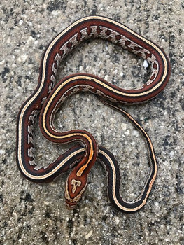 Okeetee Tessera Corn Snake for sale (Pantherophis guttata)