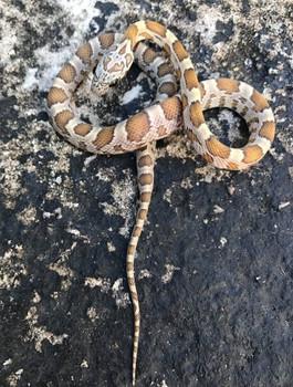 Honey Corn Snake for sale