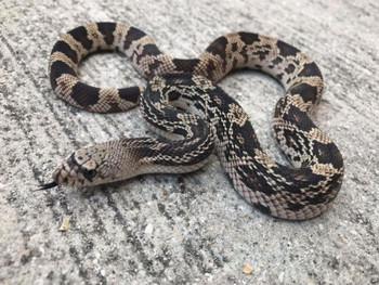 Northern Pine Snake for sale