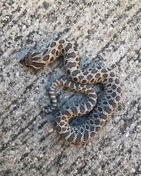 Axanthic Hognose for sale