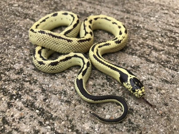 Banana California King Snake for sale