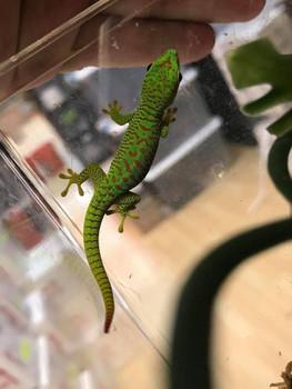 Crimson Giant Day Gecko for sale