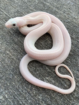 Blue  Eye Leucistic Texas Rat Snake for sale